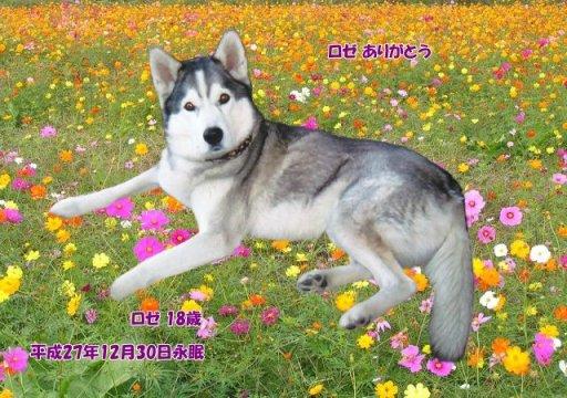 151231koyama-roze-tyan.jpg