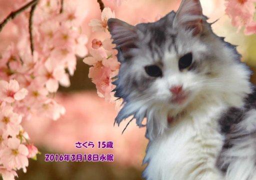 160319hagiwara-sakura-tyan01.jpg