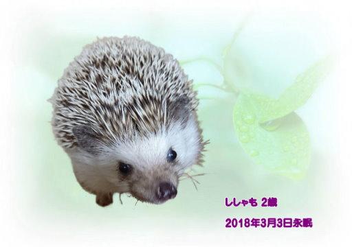 180304okada-sisyamo-tyan.jpg